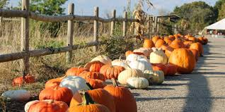 pumpkins for sale 15 varieties of pumpkins for sale in 2017 at farms