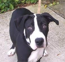 american pitbull terrier size chart american pit bull terrier puppies breeders pit bull terriers