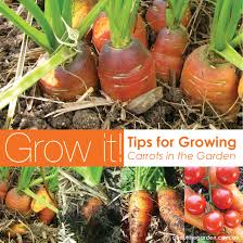 growing carrots in australia about the garden magazine