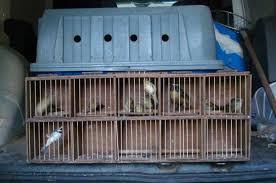 Pássaros mantidos em cativeiro são resgatados em Itajaí ( SC)