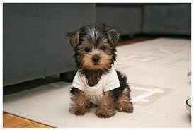 yorkie haircuts pictures only cute little dog cuuuute only the best pins pinterest dog