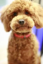 haircutsfordogs poodlemix i d love to have a poodle or labradoodle poodles are ranked 2