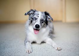 movies with australian shepherds in them 5 smartest dog breeds chosen by veterinary professionals