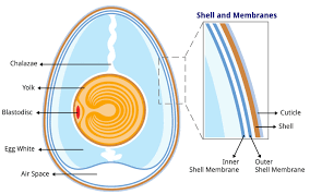 file anatomy of an egg labeled jpg wikimedia commons