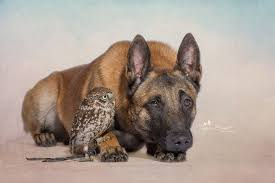belgian shepherd owl a highly unusual animal friendship the casual observer