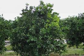 citrus greening disease quarantine extended pests in the