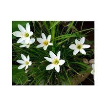 Rain Lily 4 In Potted Bog Marginal Pond Plant White Rain Lily Bp White
