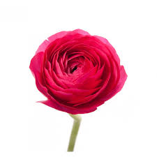 ranunculus flower hot pink ranunculus ranunculus types of flowers flower muse
