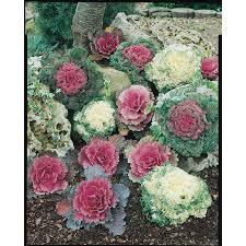 shop 9 pack ornamental kale l14885 at lowes
