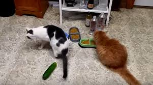 people are scaring their cats with cucumbers they shouldn u0027t