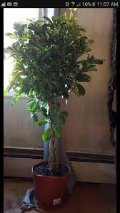 How To Save A Dying Plant Braided Money Tree Dying
