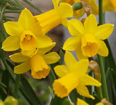 how to bulbs how to grow daffodils outside and force daffodil