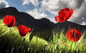 poppy flowers 6850375