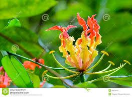 gloriosa superba or climbing lily flower stock photo image 39974416
