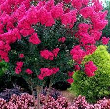 151 best crape myrtle images on garden trees crepes