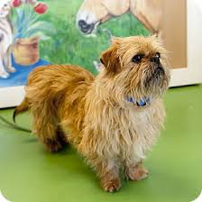 affenpinscher dogs for sale chewbacca adoption pending adopted dog south haven mi