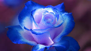 blue roses blue wallpapers wallpaper high definition high quality