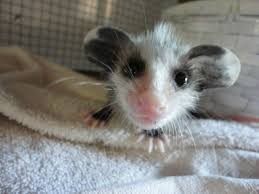 possum ate so many he couldn u0027t move and didn u0027t care aww