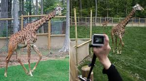 Turtle Back Zoo Light Show by Beloved Giraffe Dies During Medical Procedure At Turtle Back Zoo