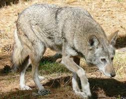 chambre agriculture gard les éleveurs réclament une brigade loups dans le gard journal