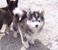 puppies indiana for sale in indianapolis indiana 46207 classifieds buy and sell