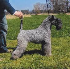 bedlington terrier genetic disease kerry blue terrier wikipedia