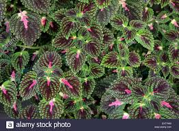 vibrant coleus plant impressive ornamental foliage stock photo