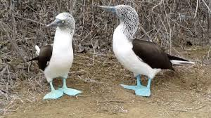 Boobies Memes - blue footed boobies the funniest birds ever youtube