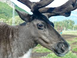 pictures of reindeer animal photos
