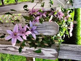 climbing clematis by elynda on deviantart