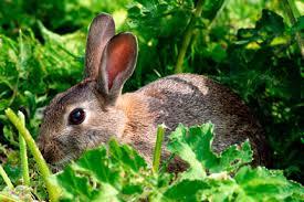 rabbit garden rabbits rhs gardening