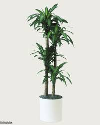 Fragrant Indoor Plants Low Light - q u0026a northern light for indoor trees hgtv