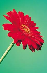 gerbera plant is ingesting gerbera daisies harmful to cats pets
