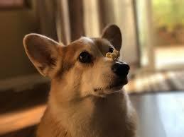 queen s dogs http ift tt 2ponvak level corgi corgis queen u0027s liebste