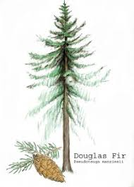 douglas fir tree douglas fir pseudotsuga menziesii eastside tree works