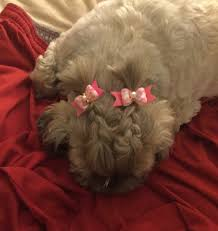how to cut a shichon s hair pin by christa green on shih tzu hair styles pinterest