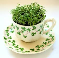 more tea cup planters gardening forums