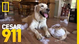 dog barks when we leave why does my dog have separation anxiety cesar 911 youtube