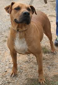 american pit bull terrier lab mix 98 best dogs images on pinterest animals dogs and dalmatian puppies