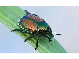 Landscaping Companies In Ct by Ct 2015 Non Native Invasive Tree Insects Glastonbury Ct Patch