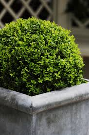 Topiary Planters - boxwood planters u2013 laurie jones home