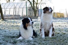 australian shepherd nbt fallcat beagles u0026 aussie
