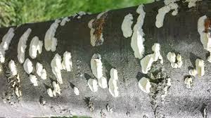 fungus on cherry tree