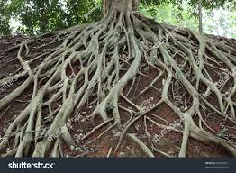amazing chaos tree roots stock photo 63447067 shutterstock