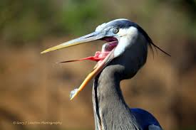 great blue heron tongue birding