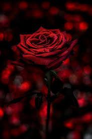 halloween black roses top 25 best dark red roses ideas on pinterest black magic roses
