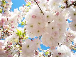 fluffy white pink sunlit tree blossom print canvas baslee