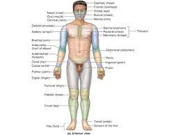 Directional Terms Human Anatomy 1 Essentials Of Human Anatomy Essentials Of Human Anatomy
