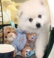 american eskimo dog breeders american eskimo dog puppies can u0027t resist these cute puppies