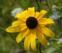 Flowering Plants Native To Ohio Black Eyed Susan Northwest Lawn And Landscape U2013 Toledo Ohio
